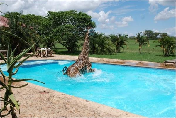 1345203777_giraffe0