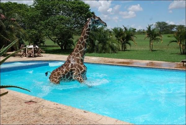 1345203777_giraffe1