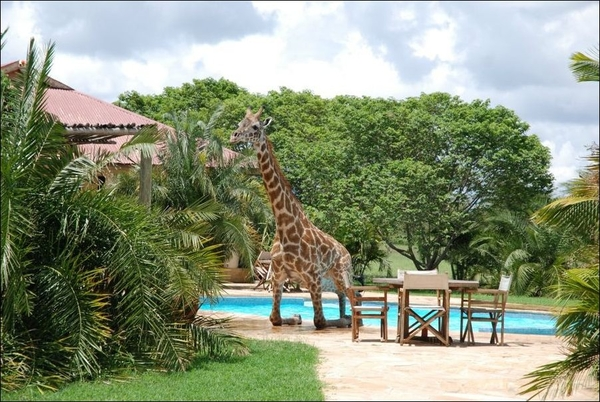1345203777_giraffe4