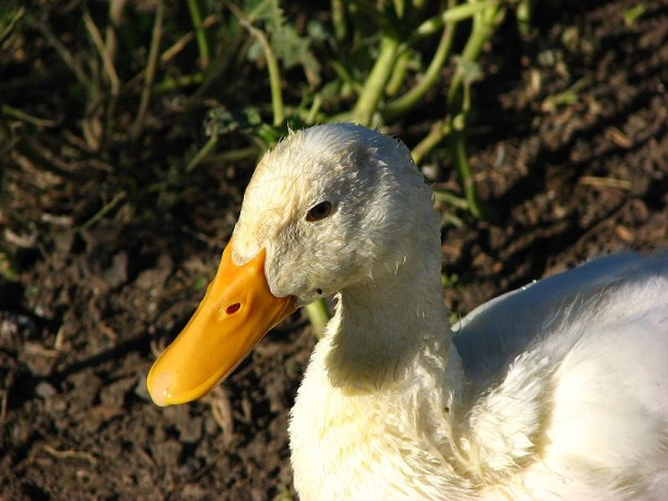 800px-Duck_portrait_(538681435)