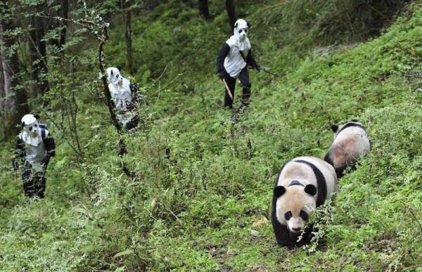 panda-0004
