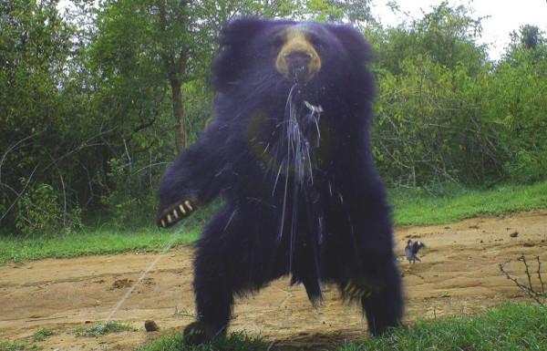 Плюющийся гималайский медведь из