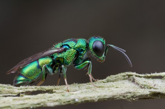 jewel-wasp-550x366