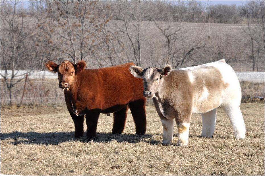cows-007