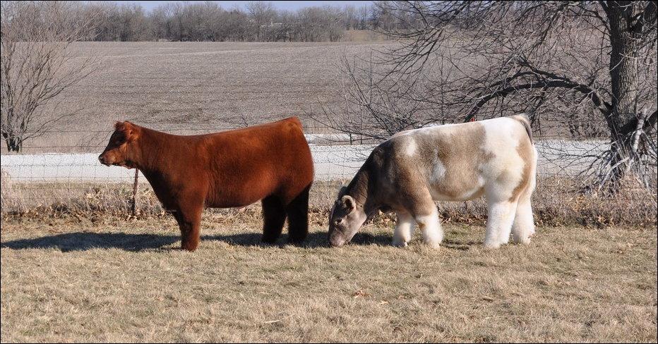 cows-009