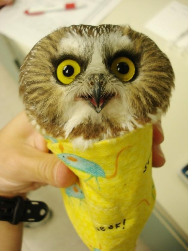 owls11