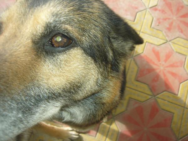 болезнь собачья старость. фото