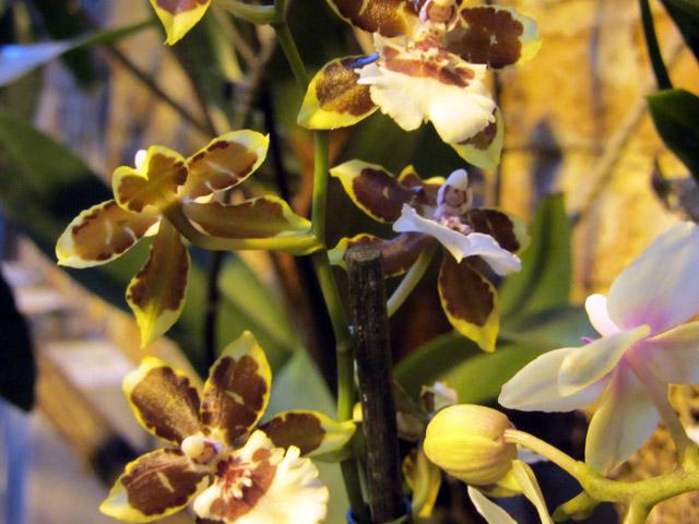 орхидеи 12