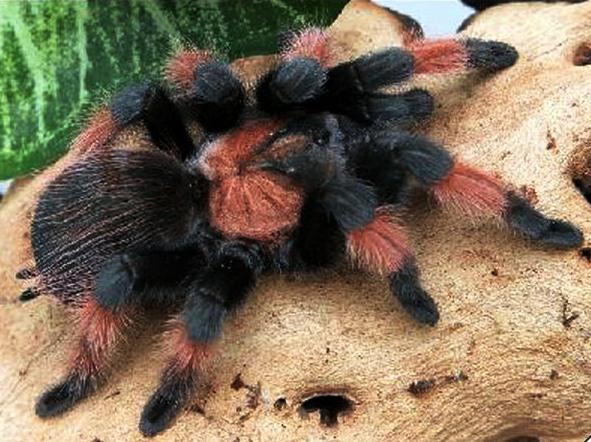 паук птицеед Brachypelma emilia