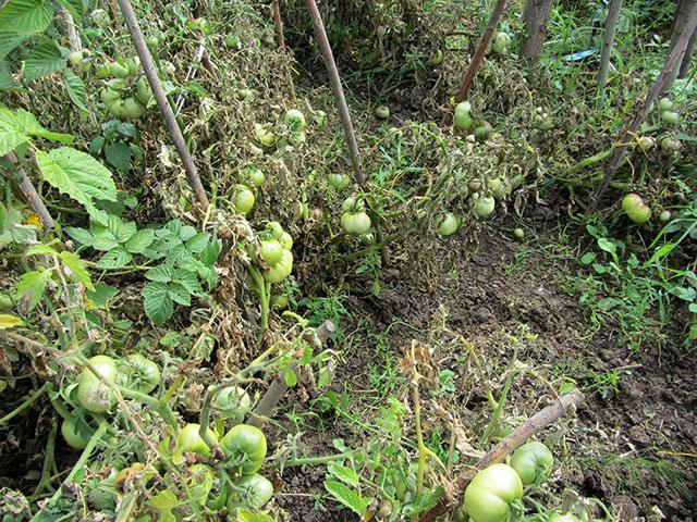зеленые помидоры 02