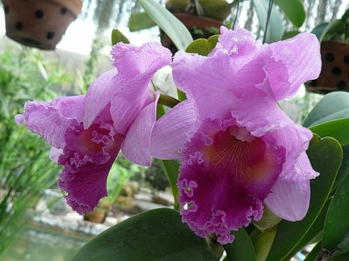 Орхидея. Каттлея 5