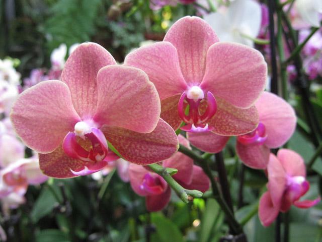 орхидеи 02