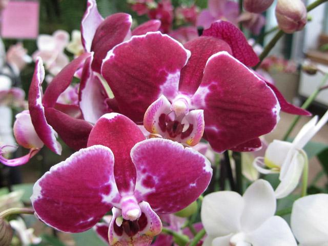 орхидеи 03