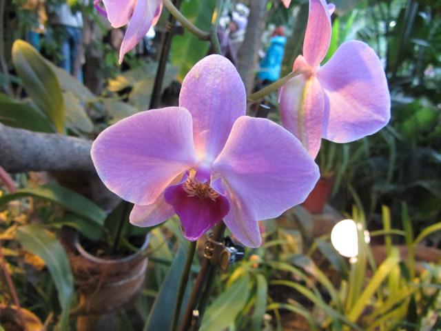 орхидеи 09