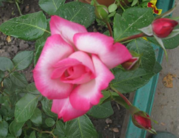 мало но розы1