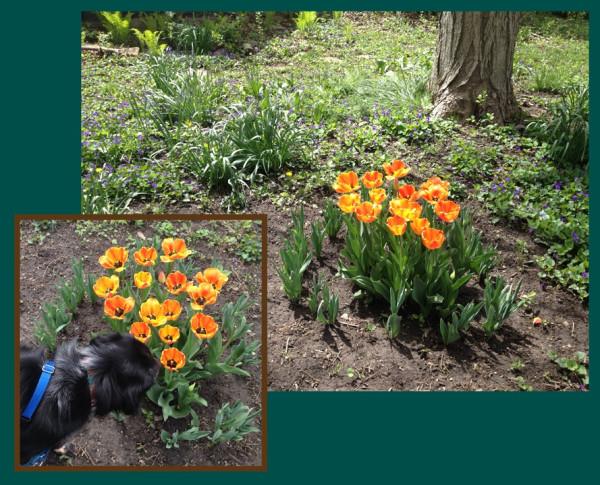 tulip combo for lj.jpg
