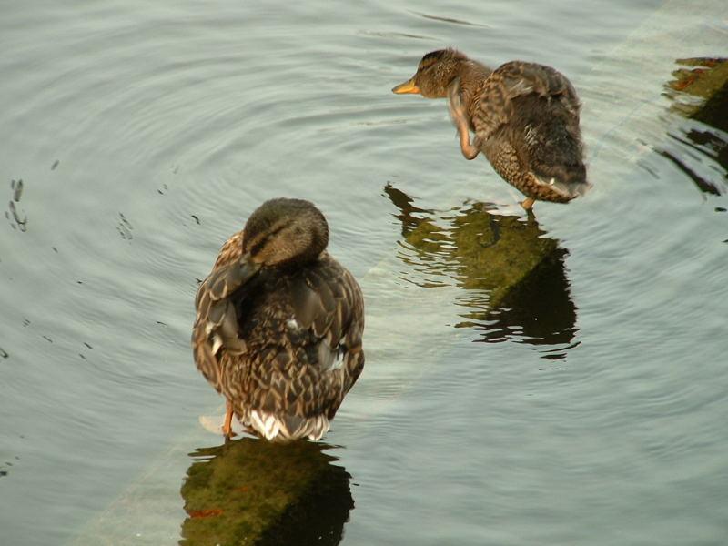 silly ducks1