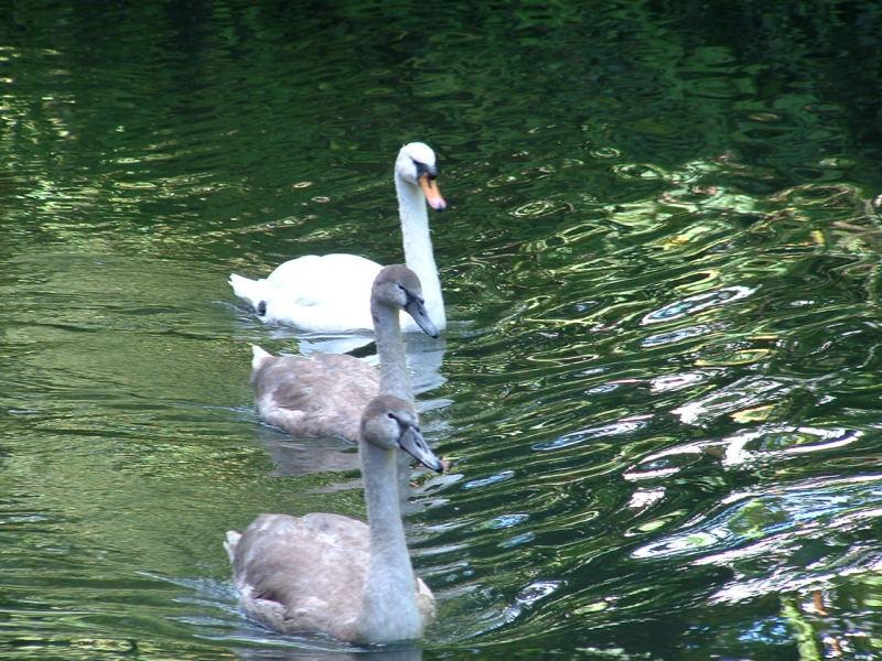 swan-family2