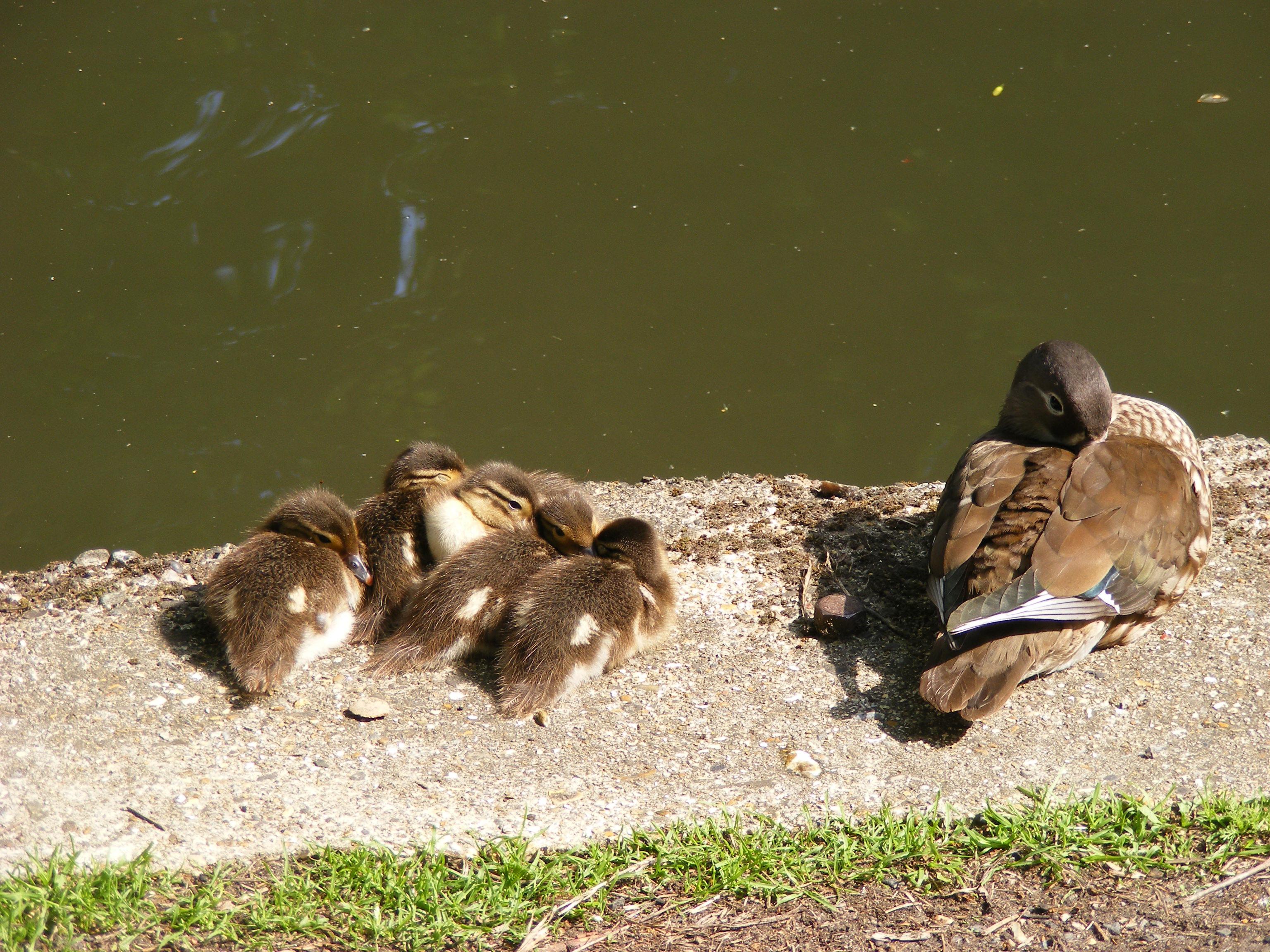 duck011