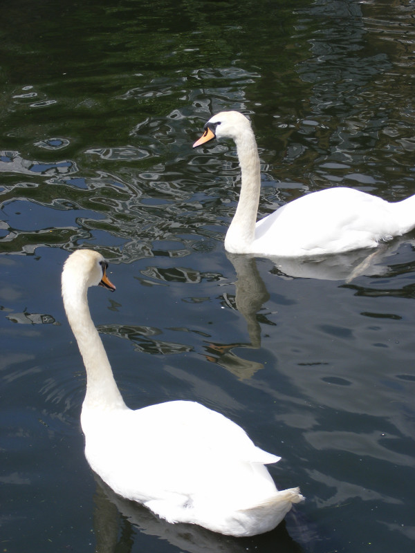 swans03