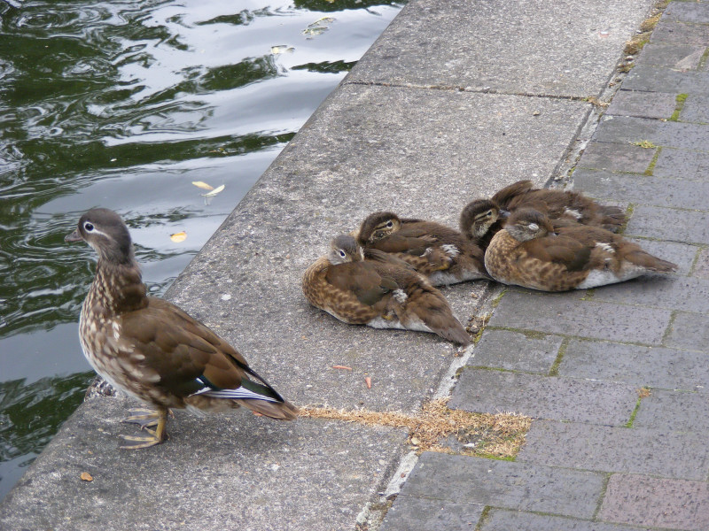 ducklings03