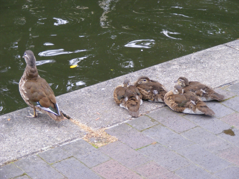 ducklings01