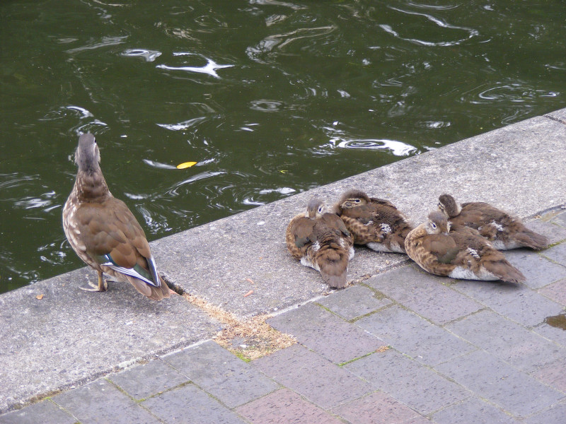 ducklings02