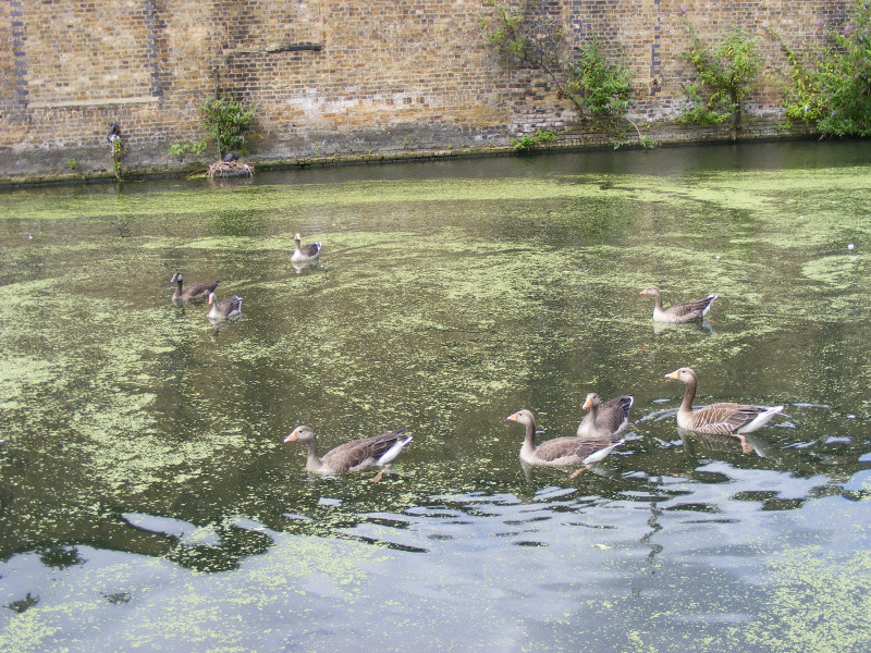 geese02