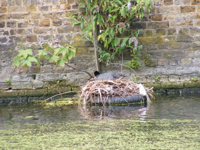 coot nest01