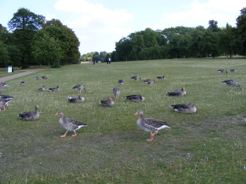 geese01