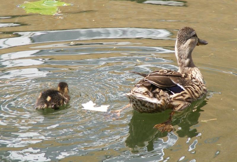 duckling2