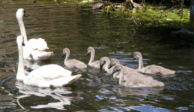 swans3