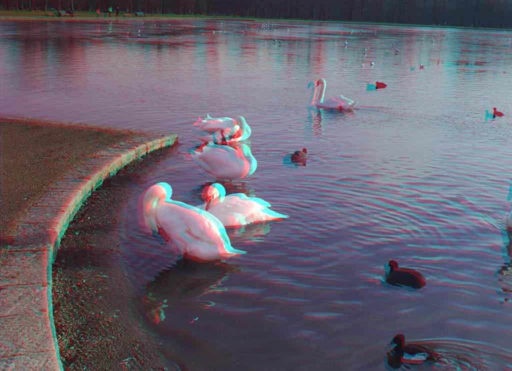 swans_01a