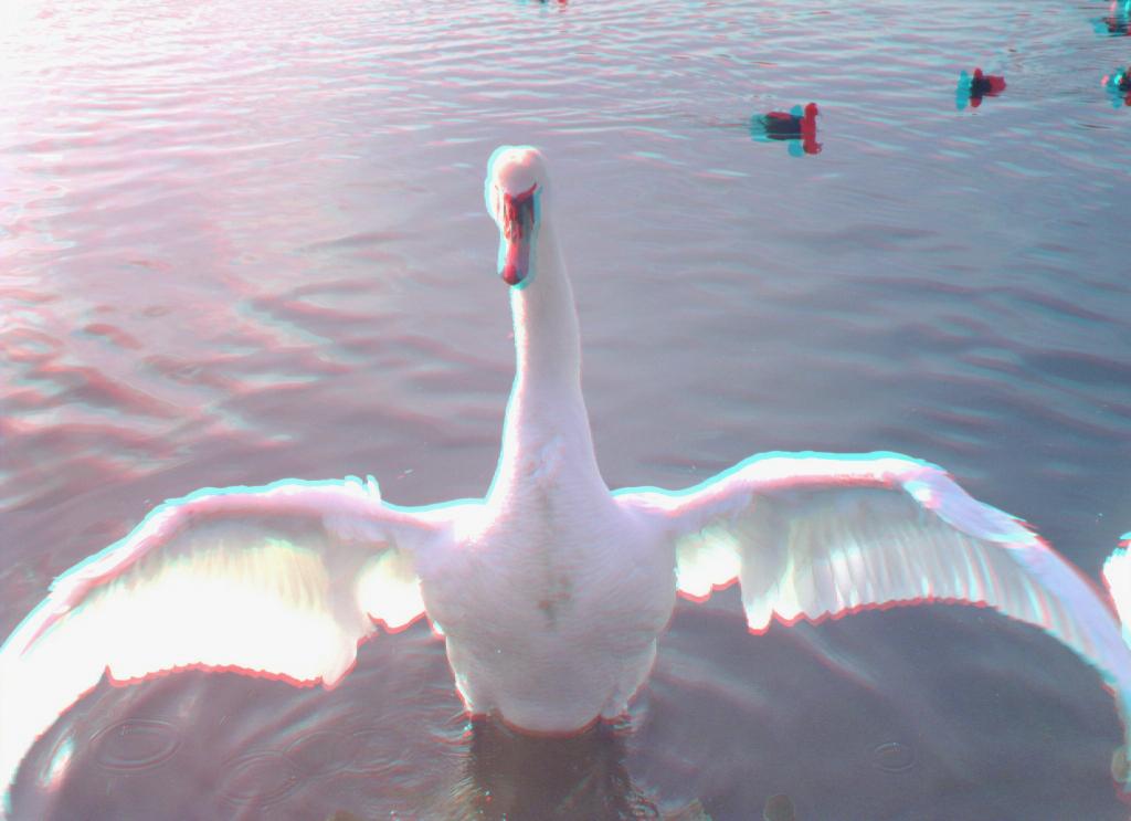 swans_02a