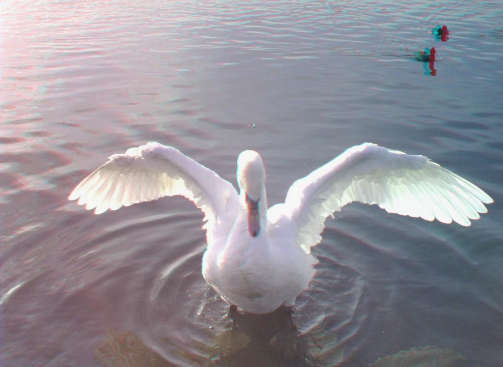 swans_03a