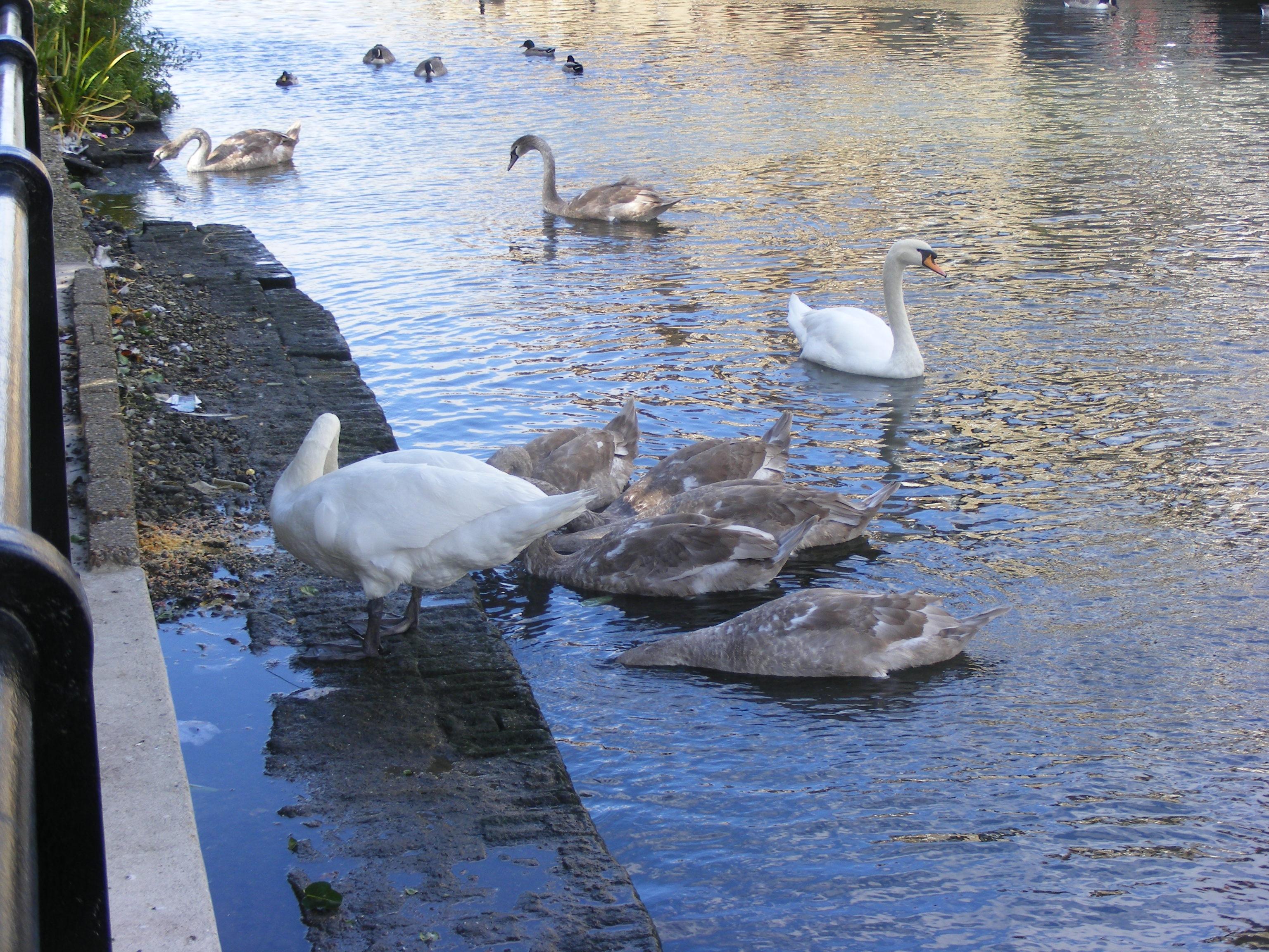 swans_01