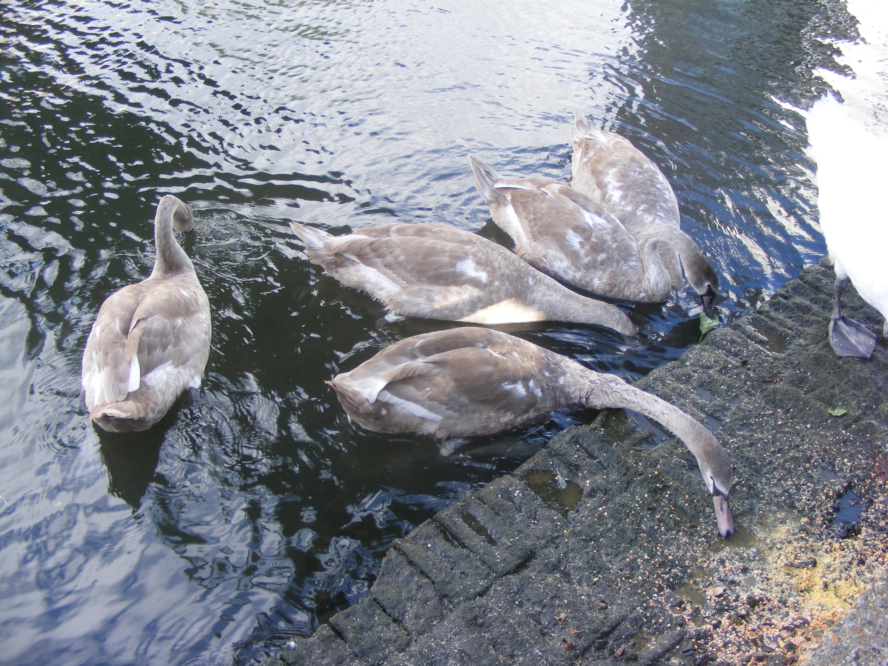 swans_02