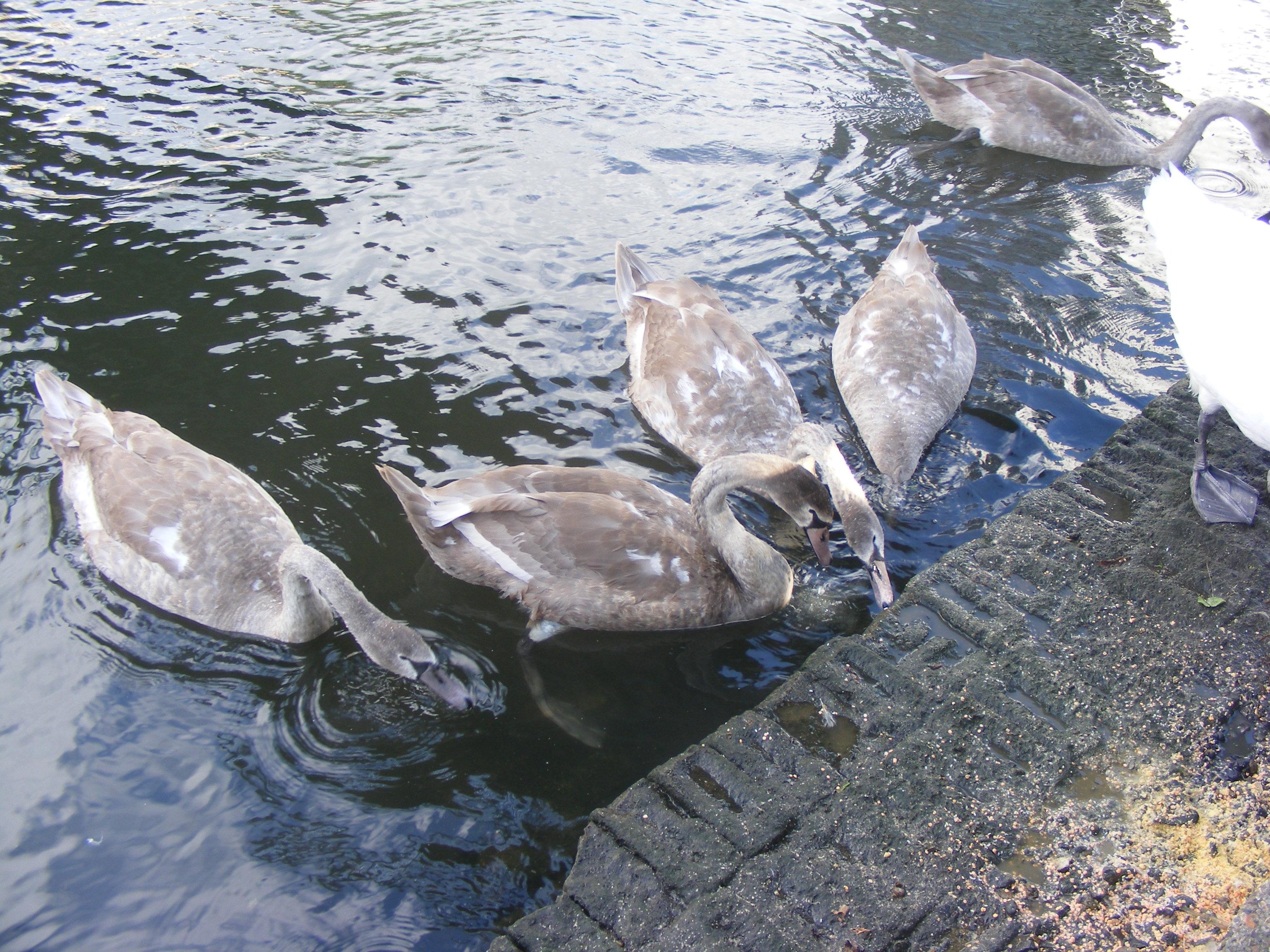 swans_03