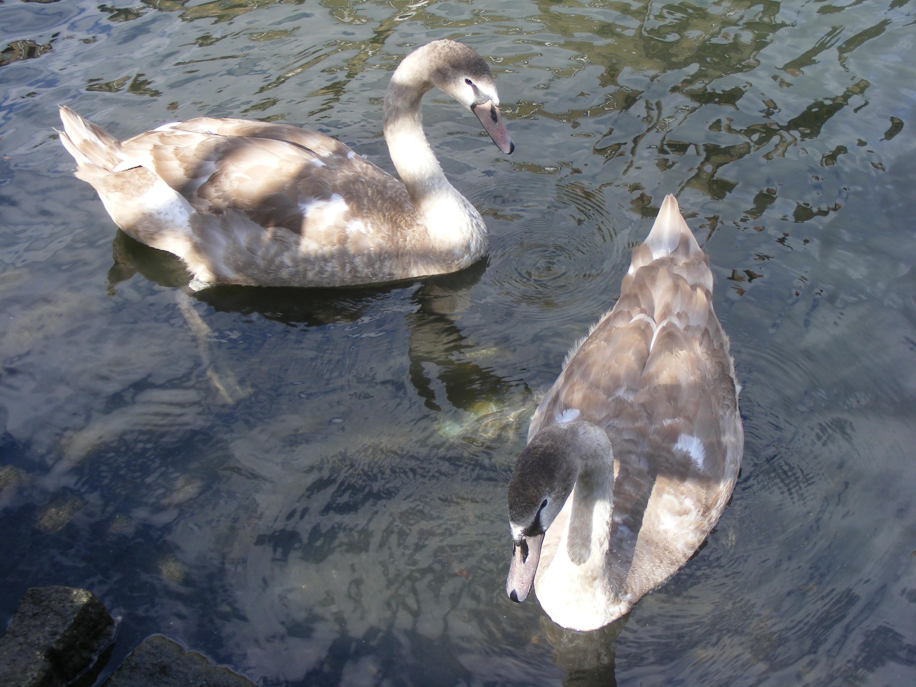 swans_04