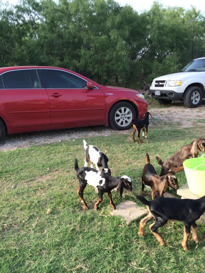 Pile o'goats
