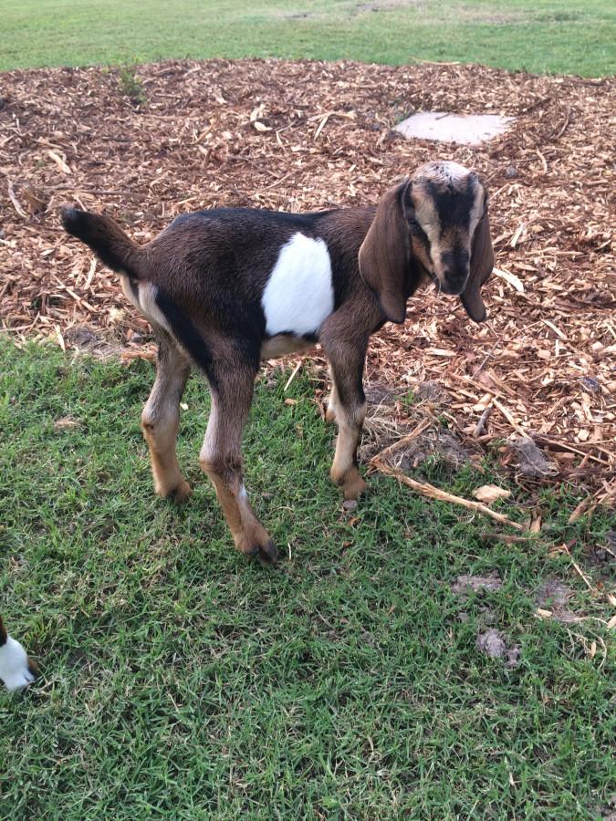 Goat - Thunder