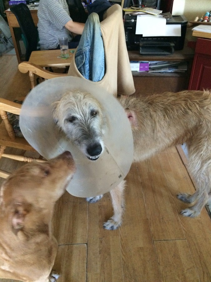 Bree in cone of shame