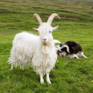 icelandic_goat_casanova_at_haafell_farm