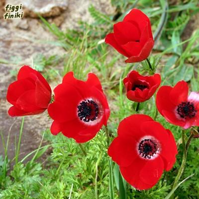 anemone_coronaria1.jpg