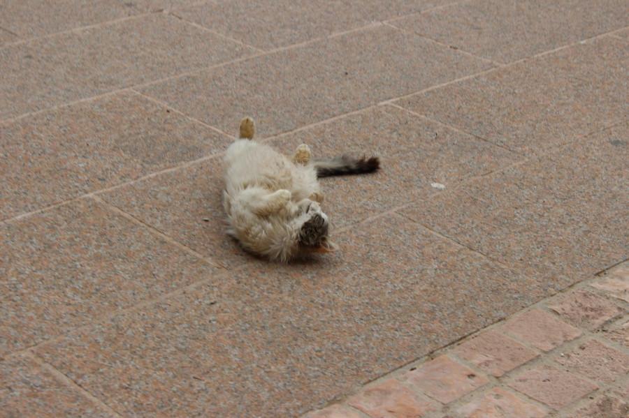 мега спилио кот