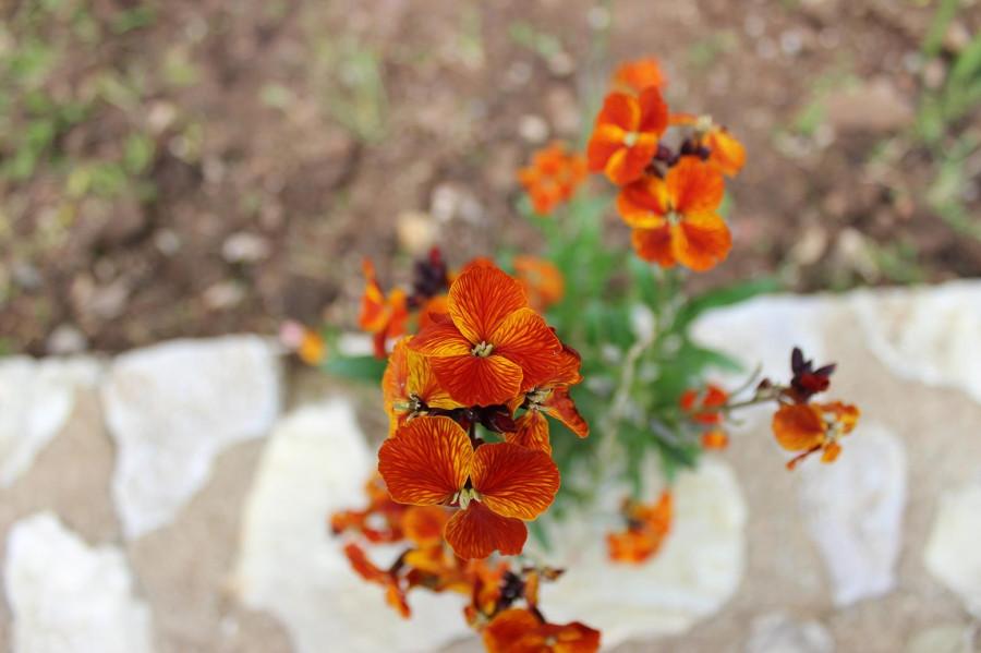 мега спилио рыжие цветы