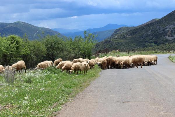 калаврита овцы на дороге