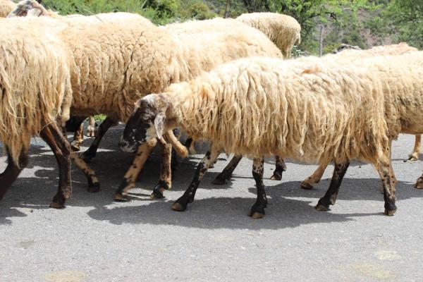 калаврита овцы на дороге 1
