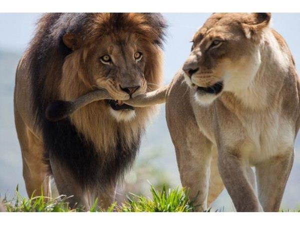 прикол львы