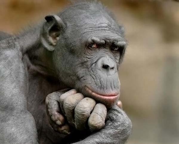 прикол обезьяна задумчивая